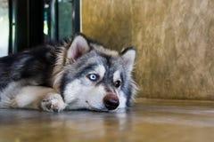 Close-up portrait of Siberian Husky dogs. Stock Photography