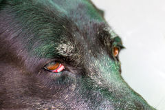 Close up portrait of a sick dog,diseased dog. Ill stock image
