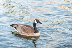 Single Canada Goose swimming on calm lake at sunset in springtime close-up portrait stock image