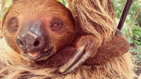 Sloth portrait royalty free stock photography