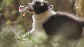 Close-up portrait of a Small border collie puppy playing with a toy in the forest in the grass.