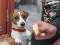 Close-up portrait of a small cute dog Jack Russell Terrier begging its owner for a piece of cheese stock photo