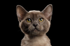 Close-up Portrait of Small Gray Burma Kitty, Isolated Black Background Stock Image