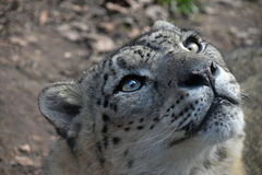 Close up portrait of snow leopard. Close up portrait of male snow leopard or ounce, Panthera uncia looking aside and above camera, high angle view Royalty Free Stock Photo