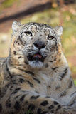 Close up portrait of snow leopard. Close up portrait of male snow leopard or ounce, Panthera uncia looking at camera, low angle view Royalty Free Stock Photos