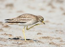 Close-up portrait of a stone curlew. With a raised paw standing on the sand on a blurred background Royalty Free Stock Photo