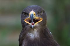 Close up portrait of a Stone Eagle. In summer Royalty Free Stock Image