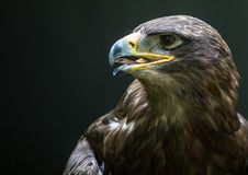 Close up portrait of a Stone Eagle. In summer Stock Images