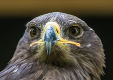 Close up portrait of a Stone Eagle. In summer Royalty Free Stock Images