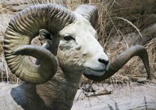 A Close Up Portrait of a Stone Sheep Stock Images