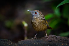 Close up portrait of Streaked Wren Babbler Royalty Free Stock Photography