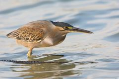 Close up portrait of striated heron Butorides striata hunting stock image