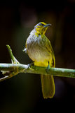 Close up portrait of Stripe-throated Bulbul Stock Photo