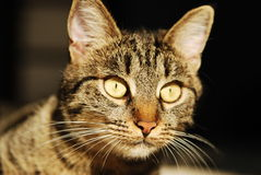 Close up portrait of a striped cat Stock Photos