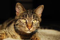 Close up portrait of a striped cat Royalty Free Stock Image