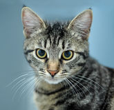 Close-up portrait of striped cat  Royalty Free Stock Images
