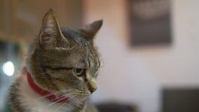 Close-up. portrait. Striped cat in a red anti-flea collar