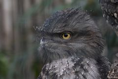 Close up portrait of a Tawny Frogmouth. royalty free stock photography