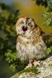 Tawny Owl Strix aluco Bird of Prey. Close up portrait of a Tawny Owl Strix aluco Bird of Prey sitting on a branch in an oak tree in autumn.  Taken in the mid stock image