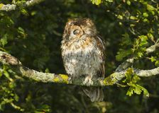 Portrait of a Tawny Owl strix aluco Bird of Prey in the British, UK countryside royalty free stock image