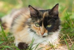 Close-up portrait of three colored cat Royalty Free Stock Photos