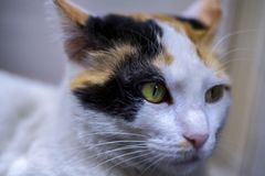 Close up portrait of a three colored cat. Selective focus on the left eye royalty free stock image