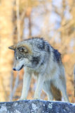 Close up portrait of timber wolf Stock Photo
