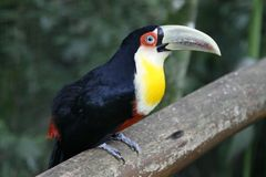 Close-up portrait of the toco toucan with bright green beak and green eyes. Ramphastos toco.Brazil. Iguazu. Close-up portrait of the toco toucan. Ramphastos stock photography