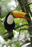 Close-up portrait of the toco toucan with bright orange beak and blue eyes. Ramphastos toco.Brazil. Iguazu. Close-up portrait of the toco toucan. Ramphastos stock photo