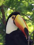 Close-up portrait of the toco toucan with bright orange beak and blue eyes. Ramphastos toco.Brazil. Iguazu. Close-up portrait of the toco toucan. Ramphastos royalty free stock photos