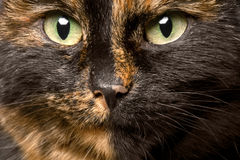 Close-up portrait of tortie cat. Close-up portrait of beautiful color tortie cat Royalty Free Stock Image
