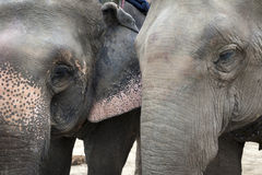 Close-up portrait of two Asian elephants Stock Photography