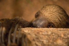 Close-up portrait of a two-toed sloth indoors. Close-up portrait of a shy Linnaeus`s two-toed sloth Choloepus didactylus. Dubai, UAE Stock Photo