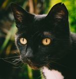 Black and white cat, portrait. stock image