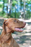 Close-up Portrait of a Vizsla Dog. A close-up shot of a Vizsla dog (Hungarian pointer) in the woods Royalty Free Stock Photo