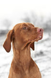 Close-up Portrait of a Vizsla Dog in Winter. A close-up shot of a Vizsla dog in a field in winter Royalty Free Stock Photo
