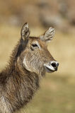 Close up Portrait of waterbuck Royalty Free Stock Images