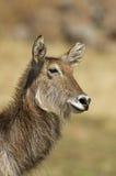 Close up Portrait of waterbuck. Kobus ellipsiprymnus royalty free stock images
