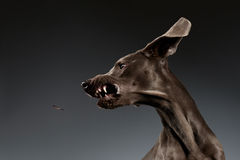 Close-up Portrait of Weimaraner dog catching food on white gradient Royalty Free Stock Images