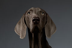 Close-up Portrait of Weimaraner dog Looking in Camera, white gradient Royalty Free Stock Photos