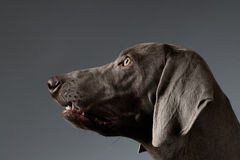 Close-up Portrait Weimaraner dog in Profile view on white gradient Royalty Free Stock Image