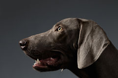 Close-up Portrait Weimaraner dog in Profile view on white gradient Stock Photos