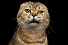 Close-up Portrait Weird drank Scottish fold Cat Isolated on Black Stock Photos