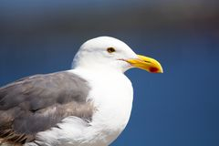 Close up portrait of Western Gull bird at the ocean. Close up portrait of a large white and gray seagull at the ocean with a blurred background of the water with royalty free stock photo