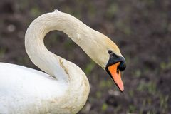 Close up portrait of a wet mute swan sygnus color royalty free stock photo