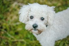 Close up portrait of a white bolognese dog. Top close up portrait of cute white furry bolognese dog with brown eyes and black nose looking up, standing in a park royalty free stock photo