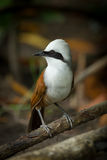 Close up portrait of  White-crested Laughingthrush Stock Photography