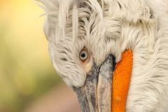 Close-up portrait of white Dalmatian pelican stock photos