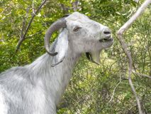 Close-up portrait of a white goat eating in forest. Anglo-Nubian breed of domestic goat stock images