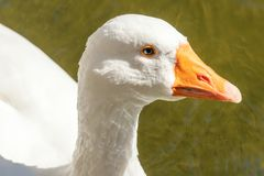 Close up Portrait of a White goose. Wildlife stock photography